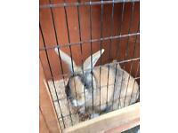 1 year old male rabbit with hutch & run