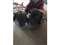Staffordshire bull terrier pups kc registered