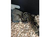 Male python aporox 3 years old with viv and more ( snake )