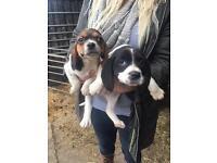 Cocker spaniel x beagle