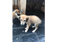 Lucas x Meg pups for sale