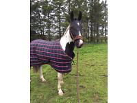 15.3hh warmblood mare