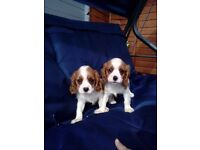 Cavailer king charles puppys for sale