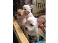 Chihuahua puppies...updated pics & price