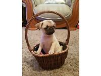 Pug puppies for sale Now reduced price!!