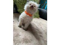 X3 ragdoll male kittens for sale