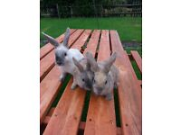 Baby rabbits, 10 weeks old looking for new homes. £15 each