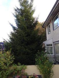 Real home grown Christmas Tree