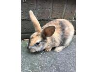 Locely rabbit 10 weeks old - ready for new home