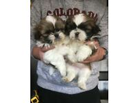 one shih tzu boy