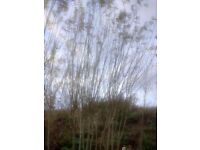 Willow Whips for Fedging/Garden Screens/Hedging/Domes