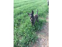 Dutch shepherd 7 months