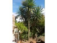 Large, established Cordyline Palm Tree. Exeter.