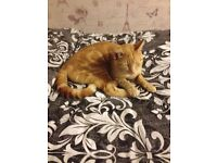 Ginger male cat
