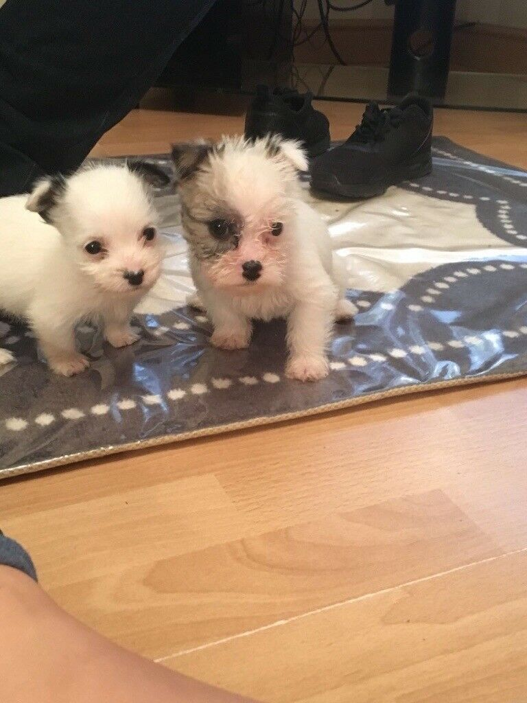 2 Shihtzu x cairn terrier puppies for sale | in Lincoln, Lincolnshire |  Gumtree