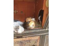 4 male Guinea Pigs