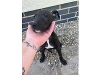 1 male Lurcher puppy left