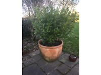 Large Terracotta pot with Bay Tree