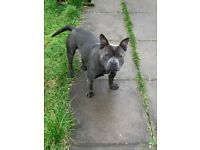 Blue staffy X for sale