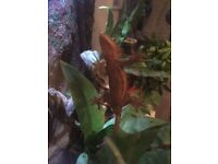Male crested Gecko 18 months old with vivarium and light