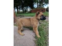 Gsd female puppy