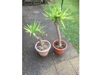 X2 yuca plants x2 indoor plants