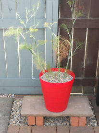Potted fennel