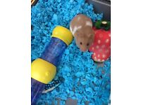 Friendly male syrian hamster with cage and accesories