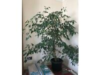 Ficus tree. House indoor plant
