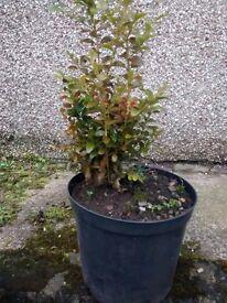2 box trees in pots, 36 cm tall.