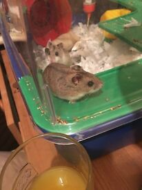 2 male Chinese dwarf hamsters
