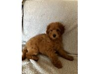 KC Reg with lots of Champions- RED Toy Poodle Boy PRA - PRCD clear