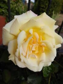 Garden Perennial Plant Rose Yellow with a hint of pink