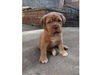 Stunning Dogue De Bordeaux Puppies for sale, ready for their forever, loving homes 🐕❤️