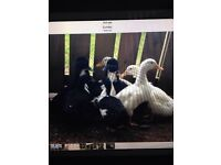 Black/white drakes. Light Sussex/well summers roosters free to good home