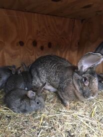 German Giant Baby Rabbits For Sale