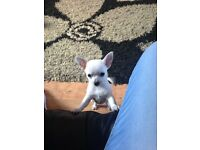 4 smooth coat chihuahua puppies..full pedigree and KC registered