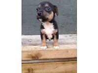 Terrier pups
