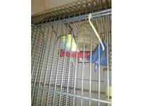 2 beautiful baby budgies and cage