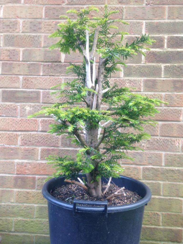 Lovely Formal Upright Yew Prebonsai In Sherburn Elmet West Wiring Bonsai