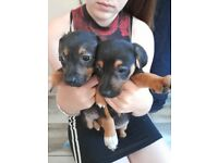 Miniature dachshund x jack Russell pups