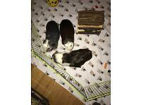 3 female guniea pigs for sale