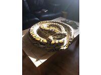 Male Burmese python for sale