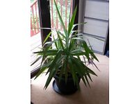 Yucca Plant Large & Healthy 4ft tall 3ft wide