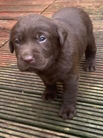 Kc Registered Chocolate Labrador puppys
