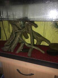 Blue gourami, hoplo catfish and plec