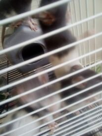 Pet rats for sale need gone asap only 8 weeks old grate with people and love being handled
