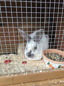 White and brown male Rabbit