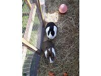 2 Dutch Rabbits for sale.