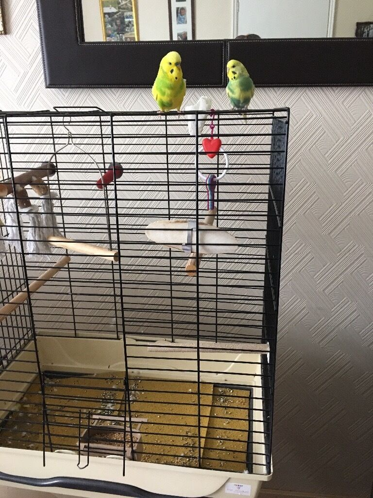 2 budgies with cage stand and extras   in Birchwood, Cheshire